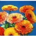 Calendula - Touch of Red Mixed Seeds - 50 Seeds