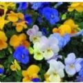 Viola - Sorbet Mixed Seeds - 15 Seeds