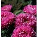 Aster - Milady Rose Seeds - 200 Seeds