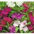 Balsam - Dwarf Bush Flowered Mix Seeds - 250 Seeds