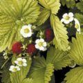 Kings Seeds - Strawberry Golden Alexandria - Each