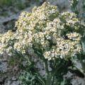 Kings Seeds - Seakale Lilywhite - Each