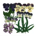 Pressed flowers, 2 packs of pansy. Art & craft materials - 2